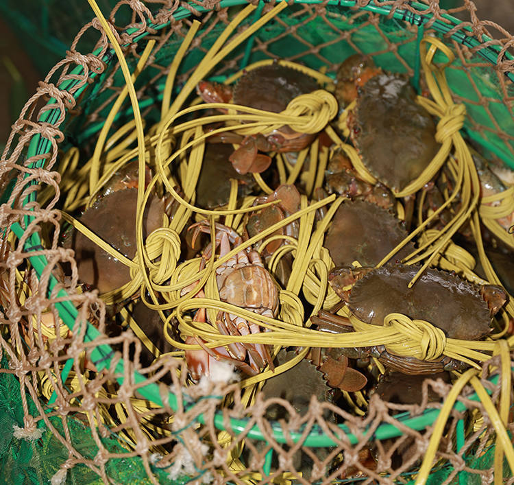 黄油蟹挑选